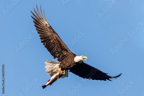 Foto op Canvas Eagle Bald Eagle