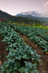 vegetable field with Mt Kinabalu in Kundasang, Sabah, Malaysia