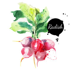 Radish with leaf. Hand drawn watercolor painting