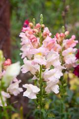 Snapdragon flower closeup