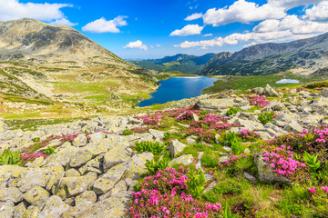Beautiful rhododendron flowers and Bucura lakes,Retezat,Romania