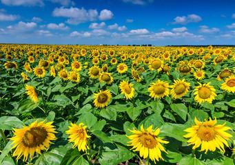 Field of sunflowers and blue sky,Buzias,Romania,Europe