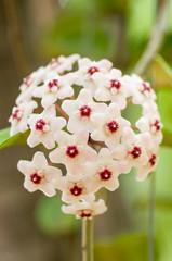 White Hoya flowers