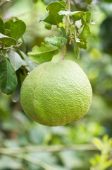 Pomelo fruit on tree