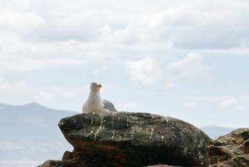 seagull on Cies Islands in Atlantic, Spain