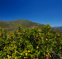 Orange trees with fruits in Andalusia, Spain on a sunny day