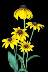 Yellow coneflower on black.
