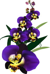 dark blue isolated orchid flower branch