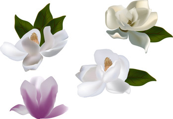 set of magnolia flowers isolated on white background