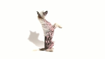 Hairless Chinese Crested dog sitting up over white