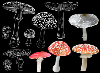 eleven fly agaric mushrooms isolated on black