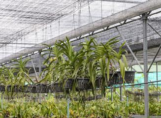 Orchid plantation farm in Thailand