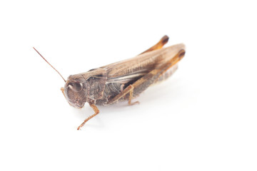 Side profile of Grasshopper
