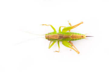 Grasshopper isolated on white background