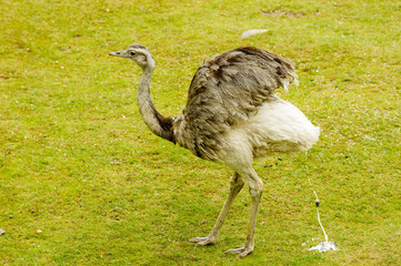 The greater rhea, Rhea americana