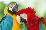 Fototapeta Dwie kolorowe papugi