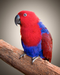 Ecelectus parrot sitting on a branch