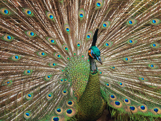 Beautiful Indian Peacock