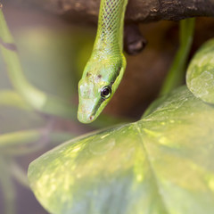 a close-up of an green mamba