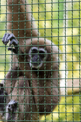 Gibbons is in the zoo