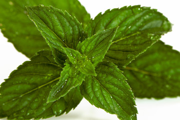 Mentha (also known as mint)
