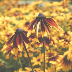 Flowers rudbeckia in the garden