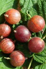 gooseberry - ripe garden berry on green leaves