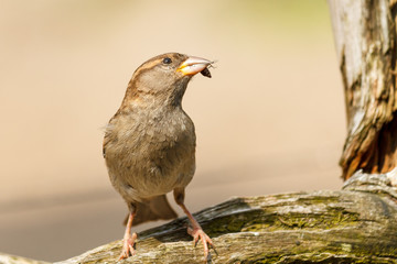Brown sparrow with insect in mouth