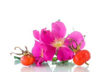 fruits and flowers of wild rose