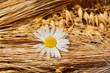 Getreide mit Blüte