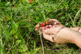 hand palm gather pick wild strawberry in meadow poster
