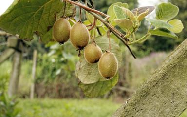 kiwi en la planta