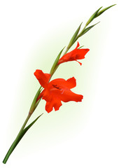 The red gladiolus flower