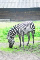 Zebra eats green grass.