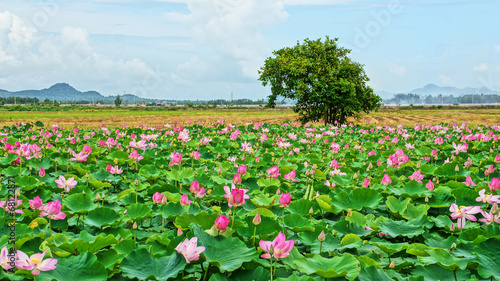Fotobehang Lotusbloem Vietnam travel, Mekong Delta, lotus pond