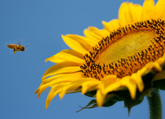 Flying bee to sunflower