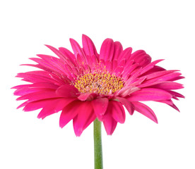 Large pink flower gerbera of stalk is isolated on white backgrou
