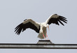 canvas print picture - Landing Stork