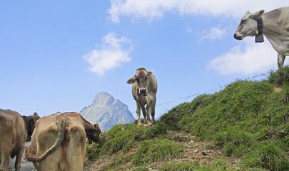 Kuh auf Weide (Schweiz)