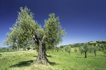 Olive tree in Italy