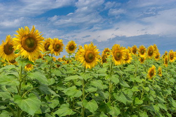 Rows of young Ukrainian sunflowers against dramatic sky