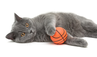 beautiful cat breed Scottish Straight closeup with ball on white