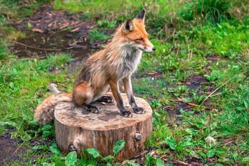 Fox in forest at High Tatras, Slovakia
