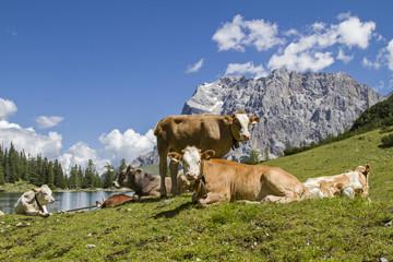 Kühe am Seeebensee