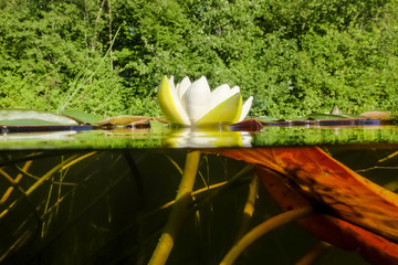 White lilies on the lake. view over the water and under the wate
