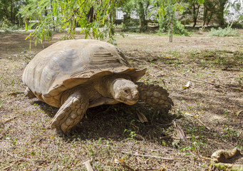Big African tortoise on the ground