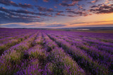 Fototapety Lavender field on sunset