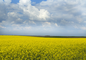 Rapeseed canola crop field blooming at spring