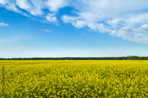 Rapeseed, canola cops field blooming at spring