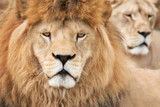 Lion king and his queen